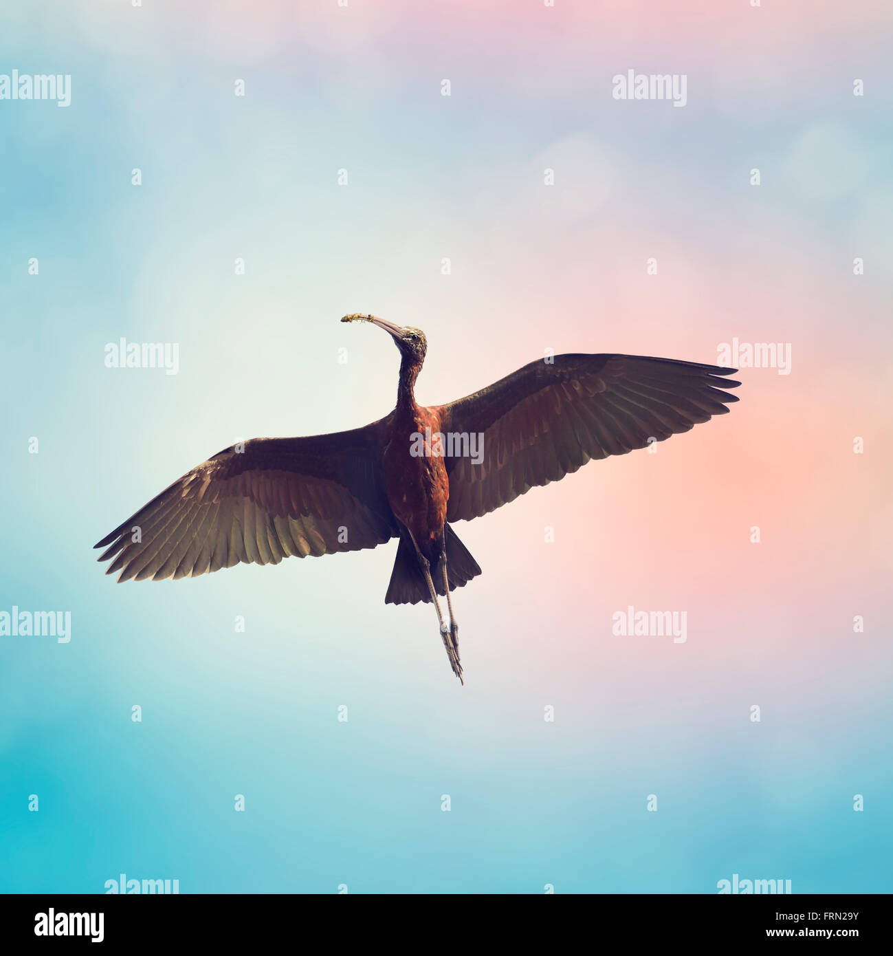 Glossy Ibis in Flight Against a Blue Sky - Stock Image