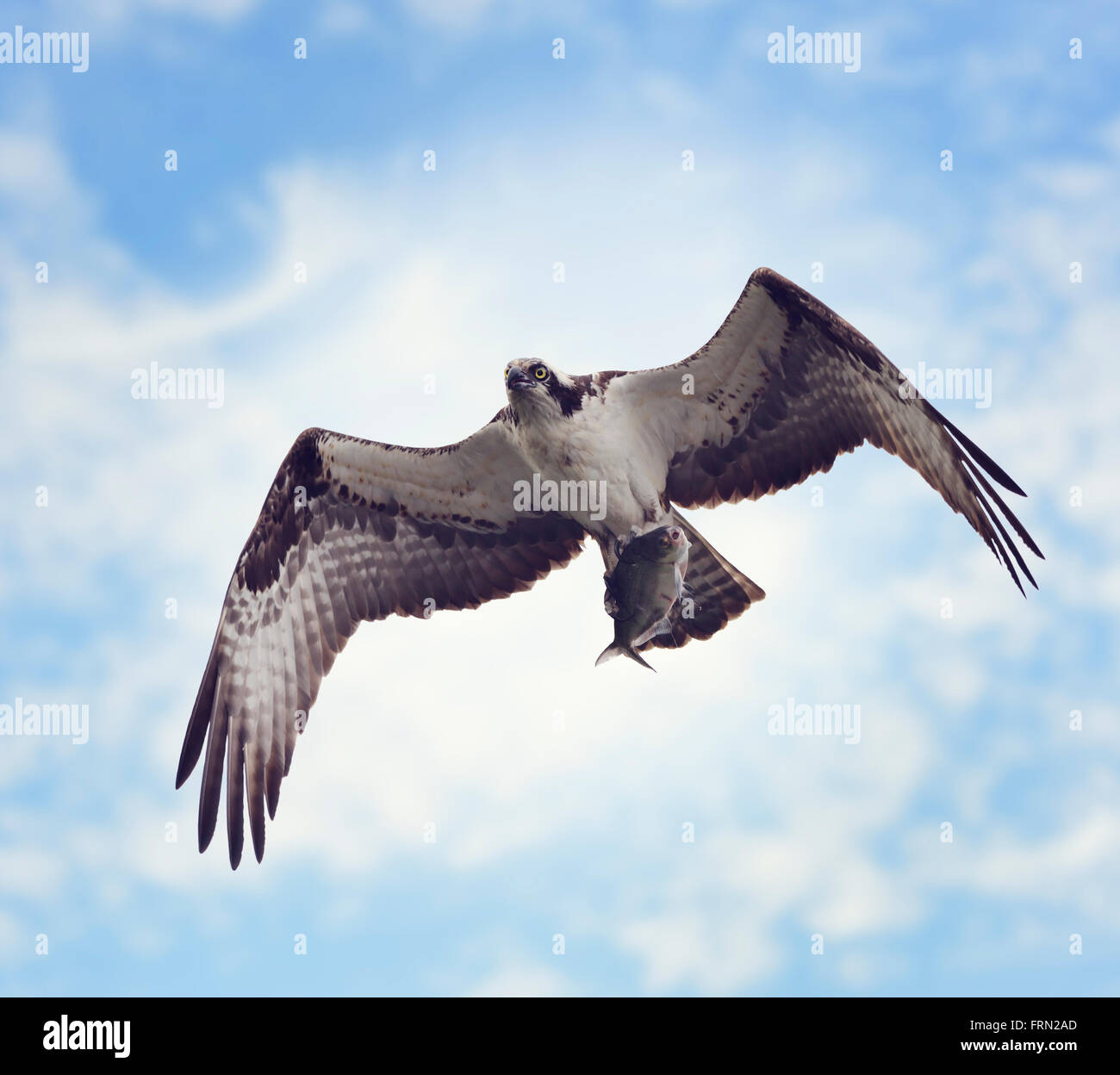 Osprey with Fish Against the Blue Sky - Stock Image