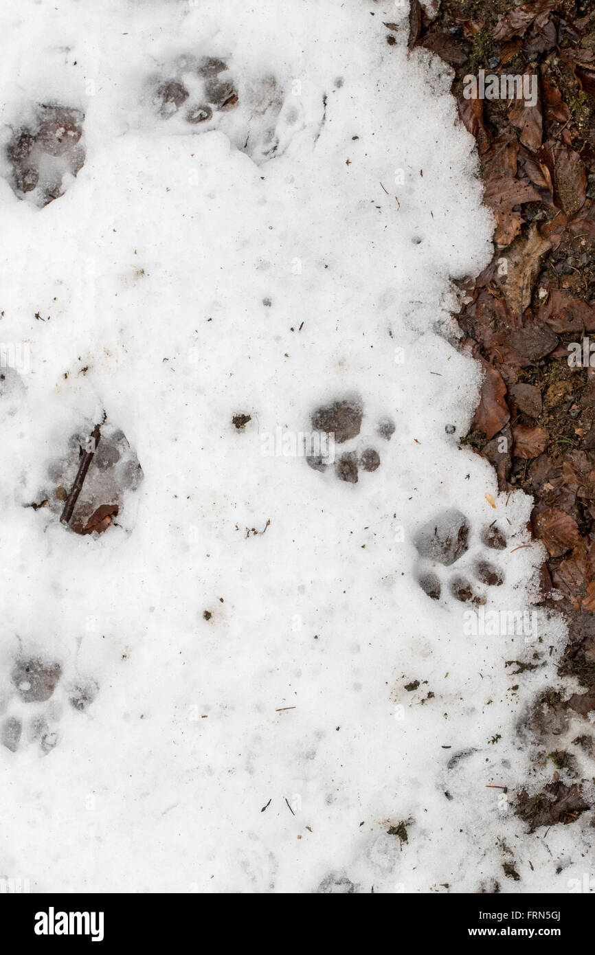 Footprints of Eurasian lynx (Lynx lynx) in melting snow in winter / spring - Stock Image