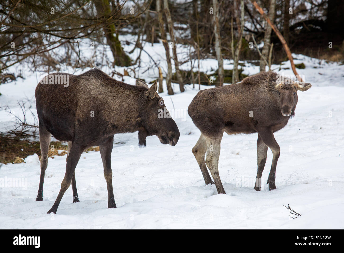 Moose / elk (Alces alces) bull with calf in forest in the snow in winter - Stock Image