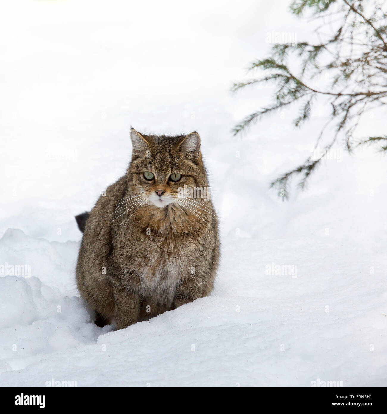 European wild cat (Felis silvestris silvestris) sitting in the snow in winter Stock Photo