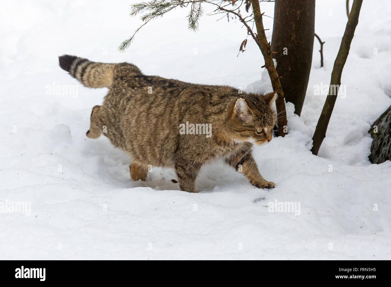 Pregnant European wild cat (Felis silvestris silvestris) walking in the snow in winter Stock Photo