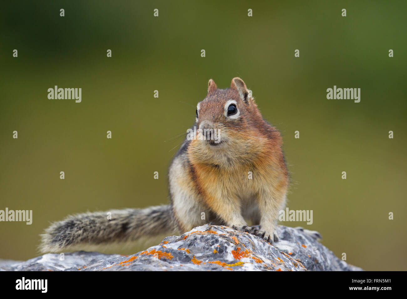 Golden-mantled ground squirrel (Callospermophilus lateralis) on rock, native to western North America - Stock Image