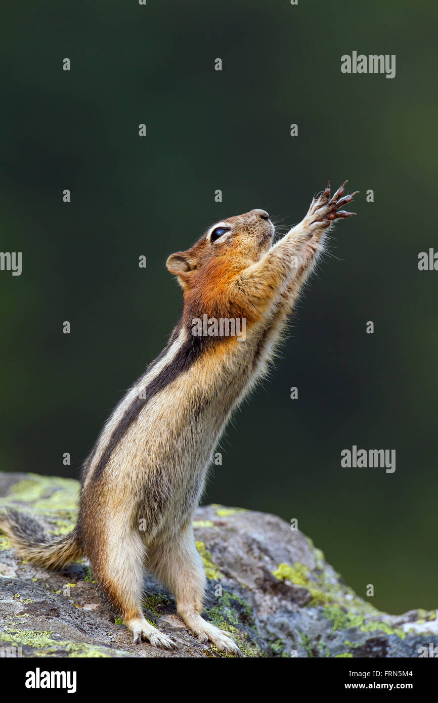 Golden-mantled ground squirrel (Callospermophilus lateralis) standing upright on rock begging for food and reaching - Stock Image