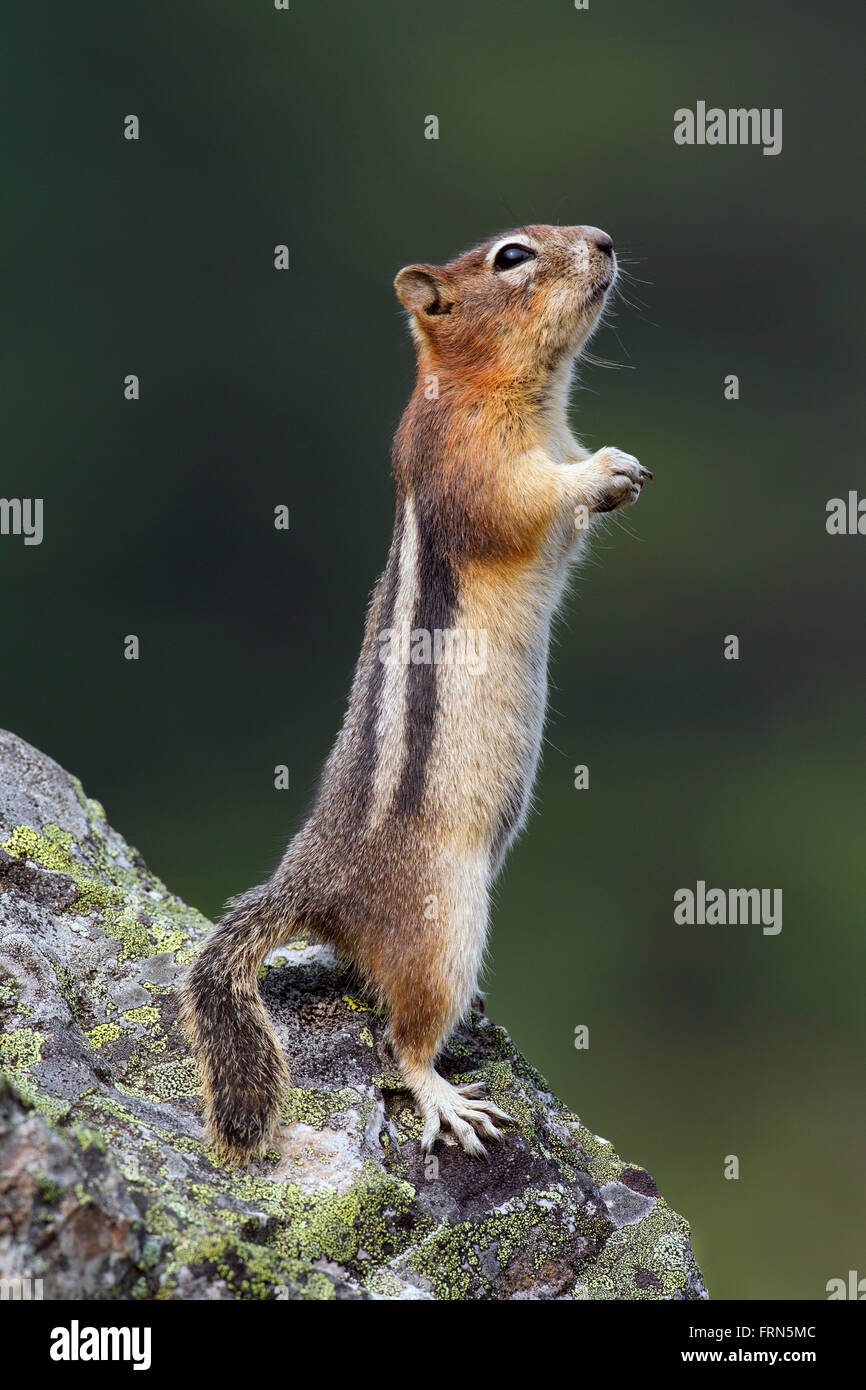 Golden-mantled ground squirrel (Callospermophilus lateralis) standing upright on rock, native to western North America - Stock Image