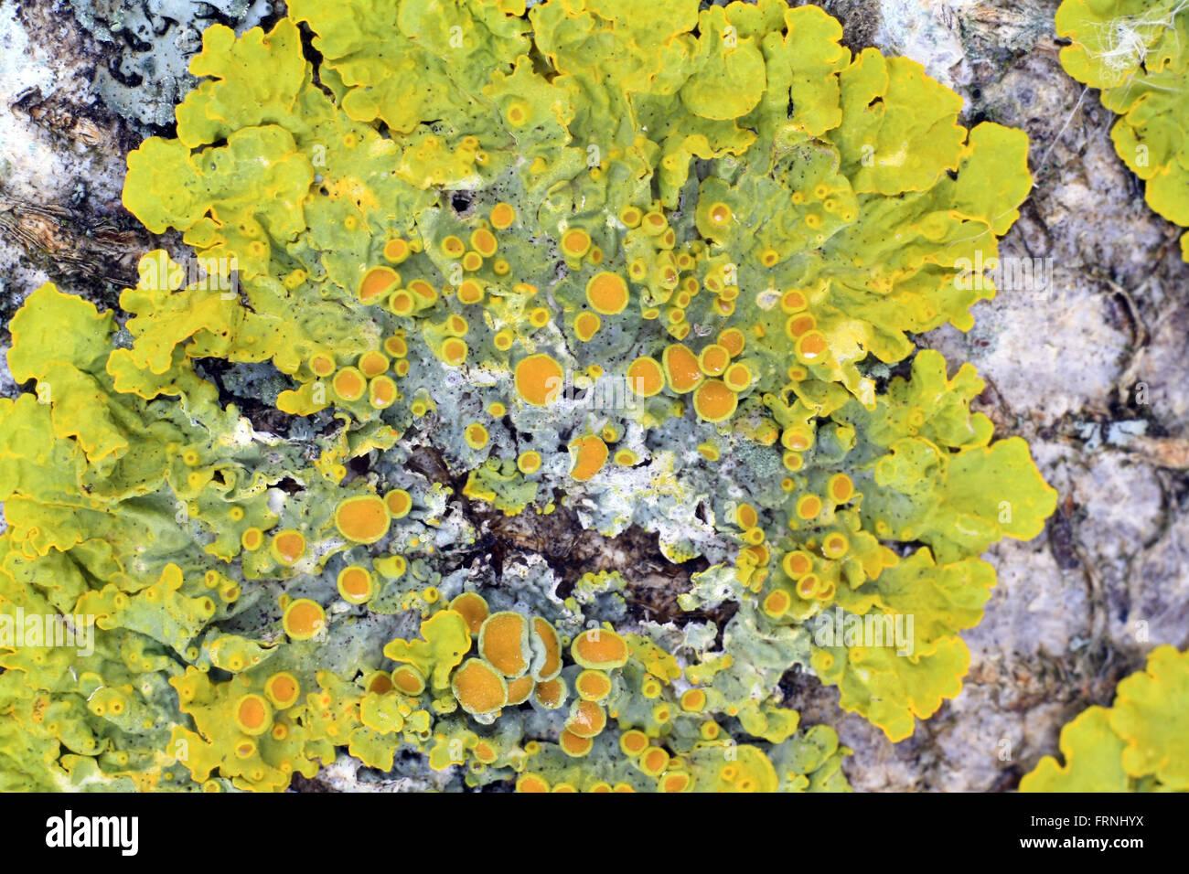 green lichen on tree bark extreme closeup - Stock Image