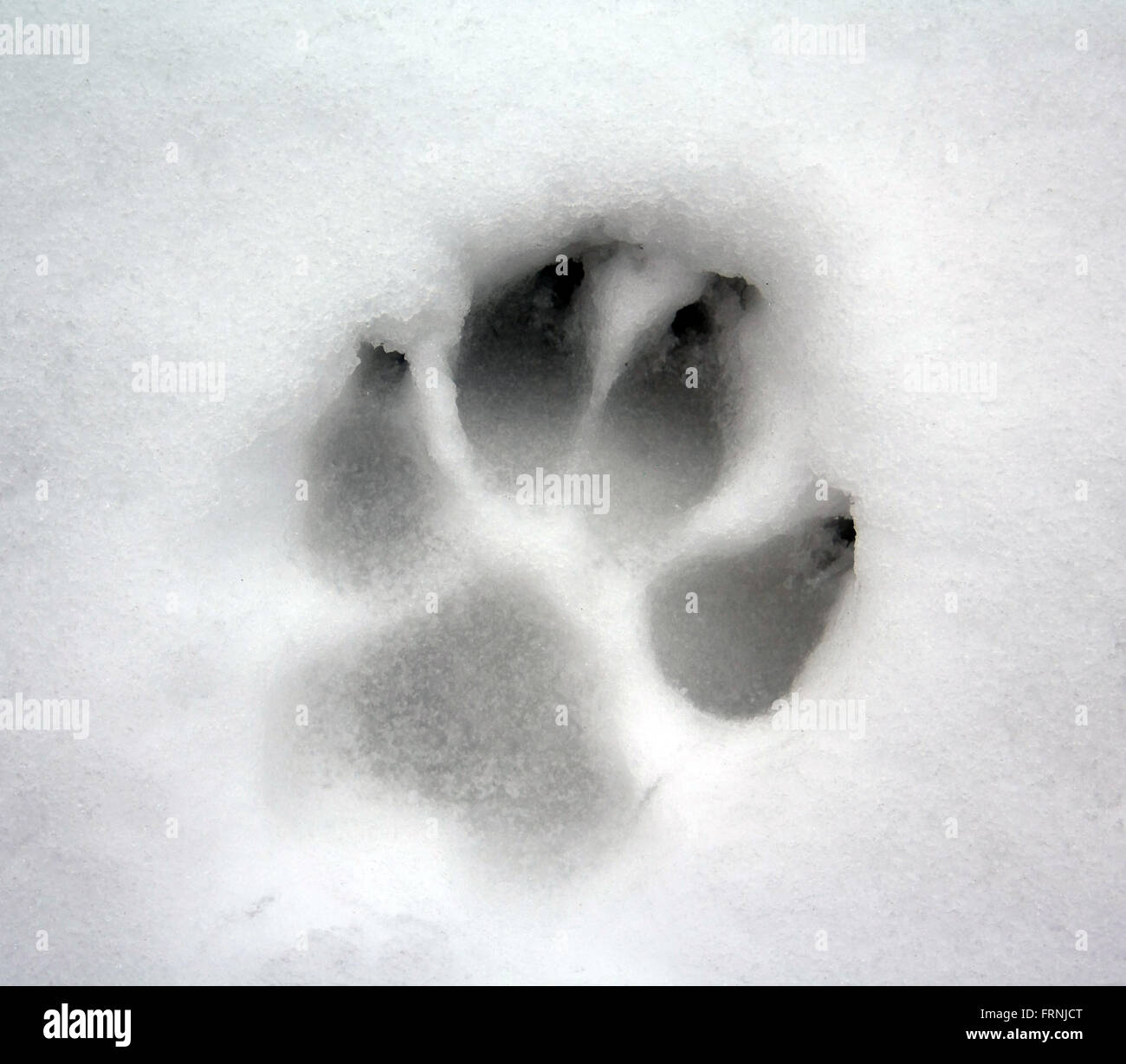 dog paw print on snow Stock Photo: 100664392 - Alamy
