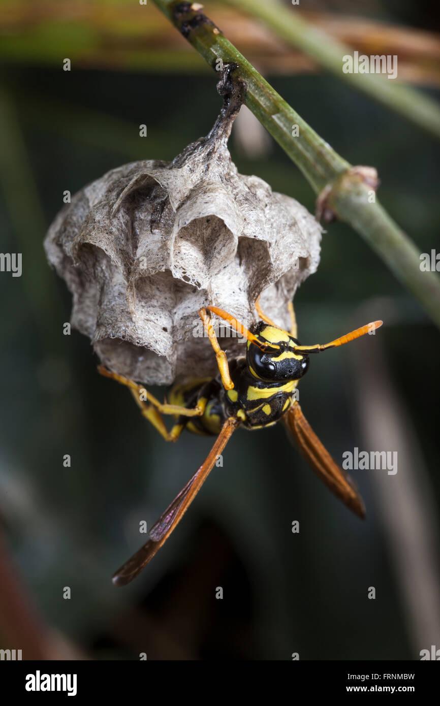 Wasp nest. - Stock Image