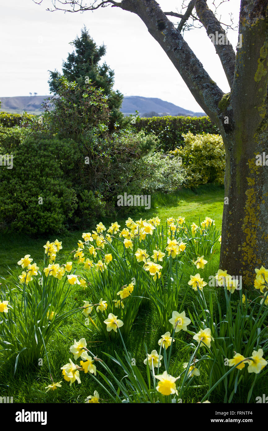 Daffodil corner of a country garden in UK - Stock Image