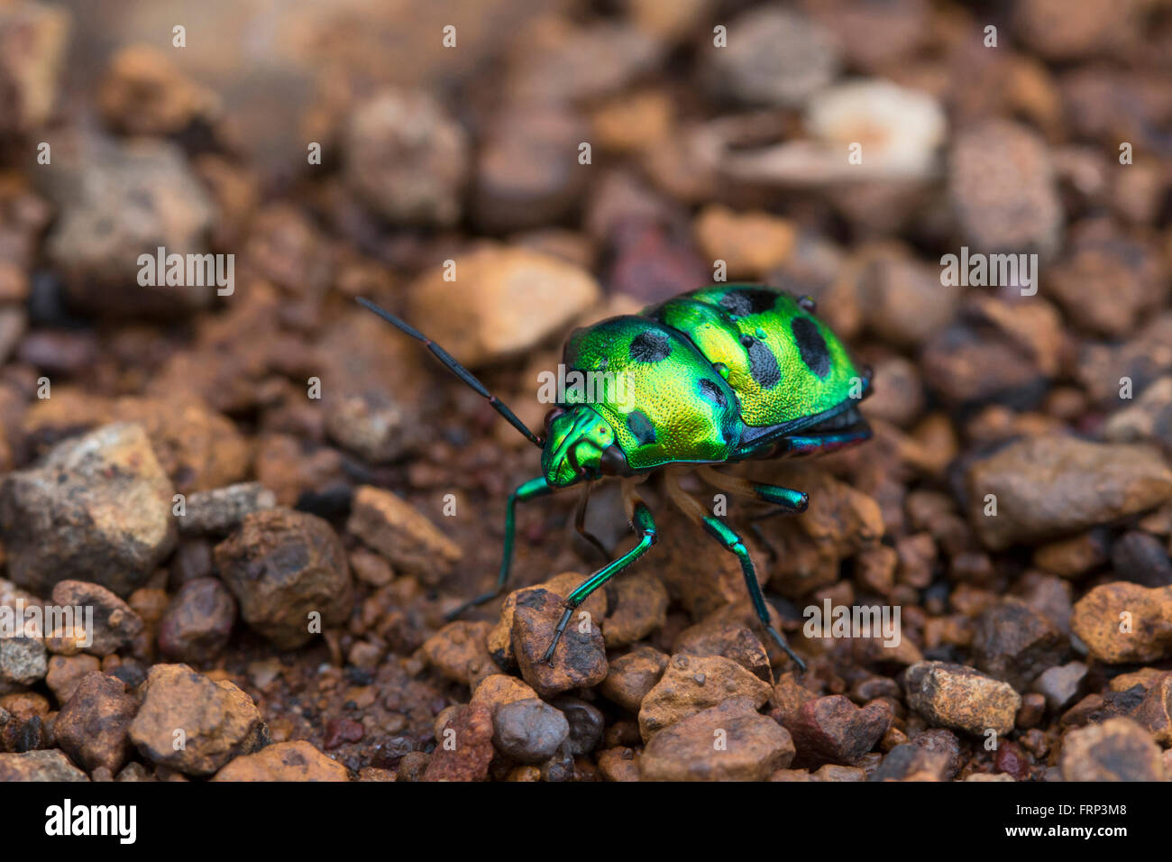 Jewel Bug or Shield Backed Bug in the family Scutelleridae, Mumbai, Maharashtra, India - Stock Image