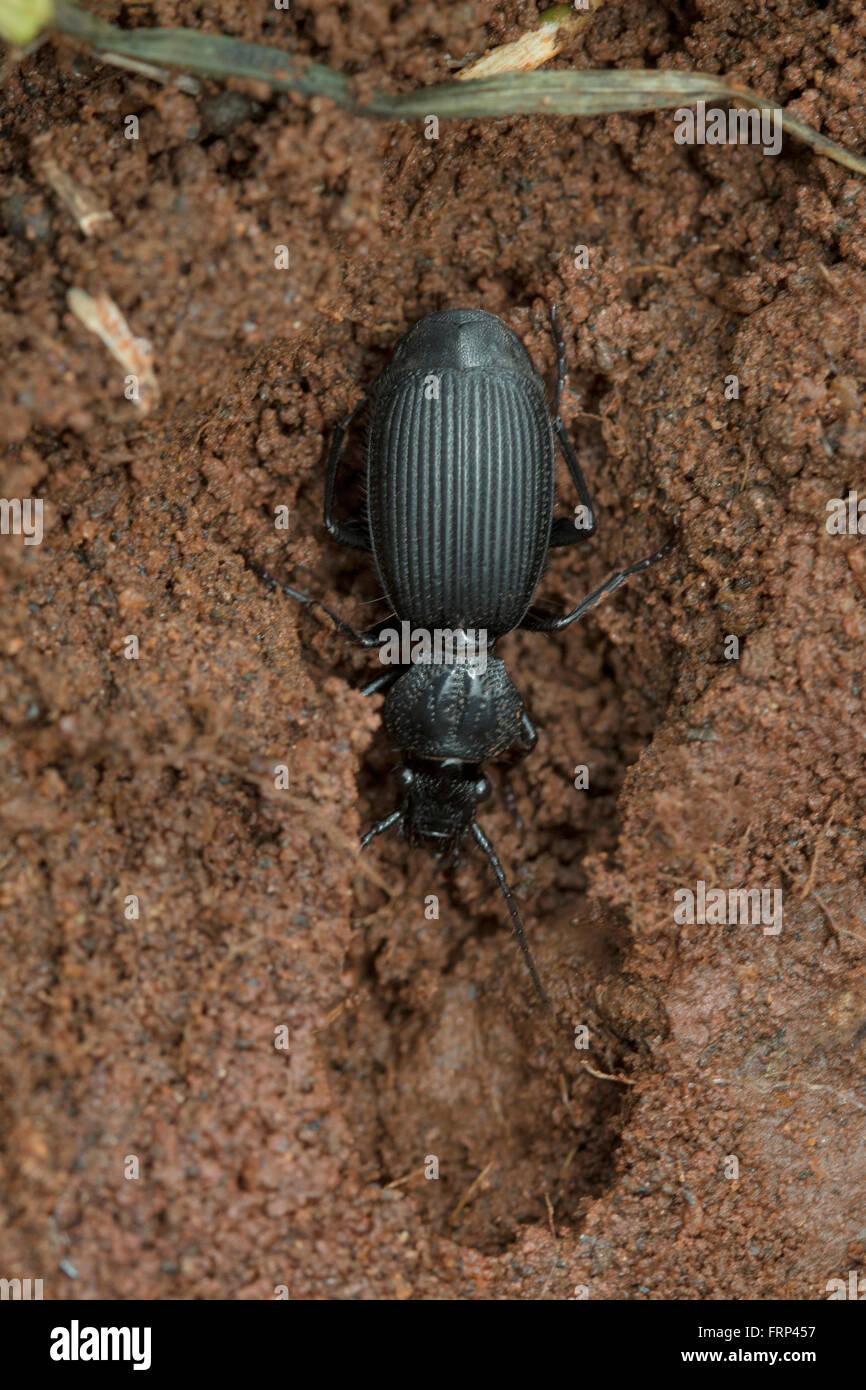 Beetle, Bangalore, Karnataka, India - Stock Image
