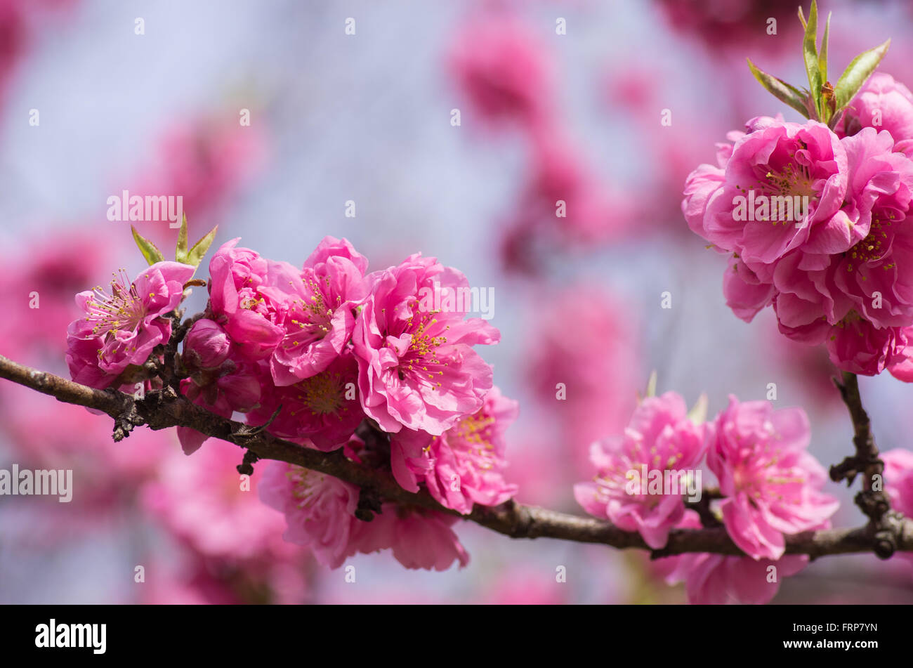 Dark pink filled variety of Cherry Blossoms at Himeji Castle Stock Photo