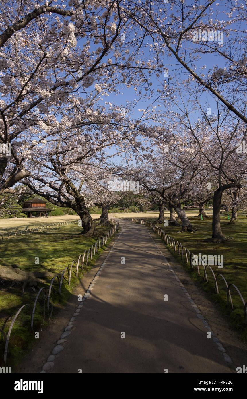Cherry Blossoms at Korakuen Garden in Okayama, Japan Stock Photo