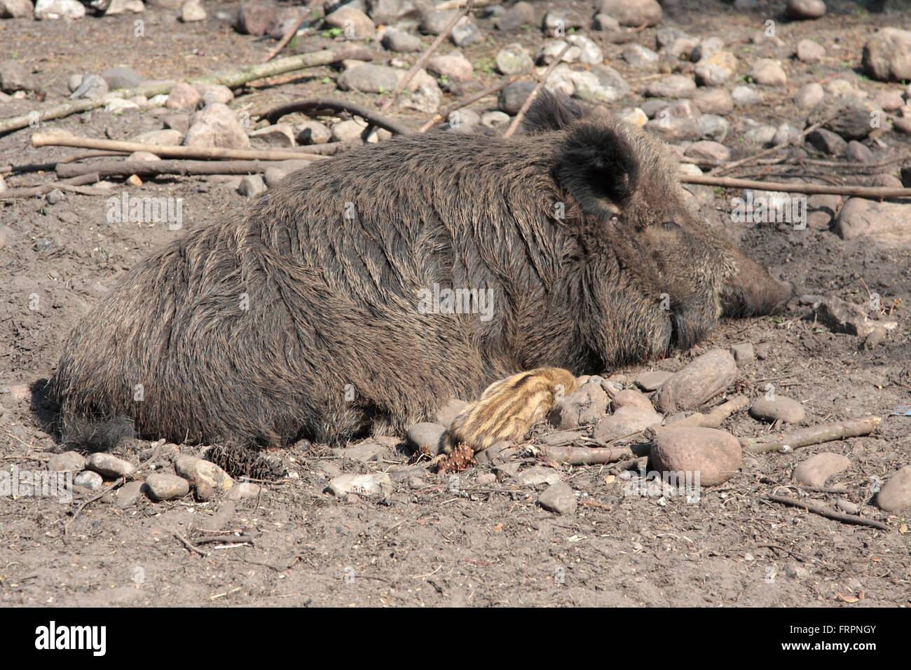 A female Wild boar with young boars. The wild boar (Sus scrofa) belongs to the family of the Real pigs (Suidae) - Stock Image