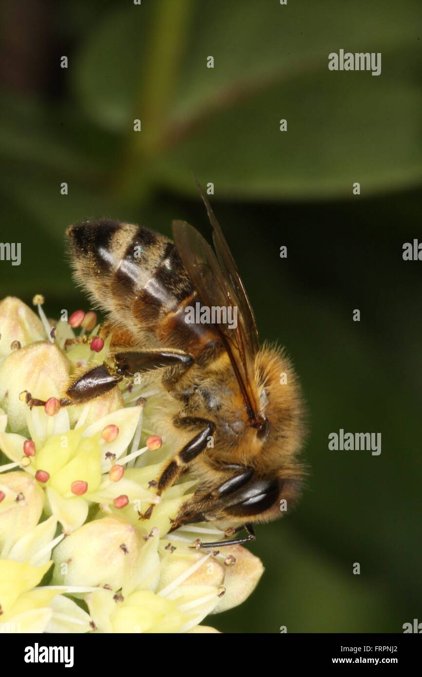 Honeybee on the flowers of Sedum album. This Sedum is often used as an ornamental plant and as cut flowers and as Stock Photo