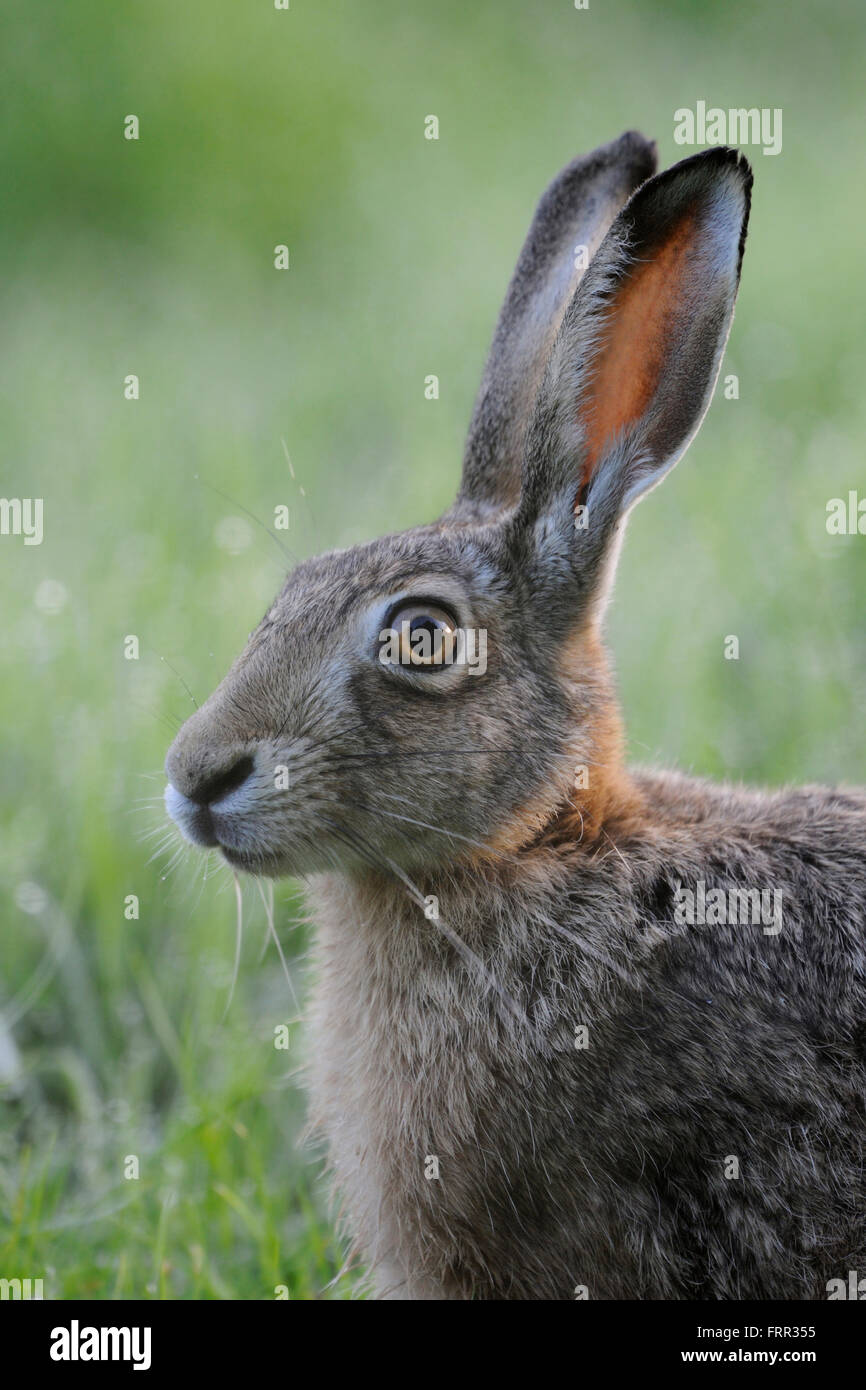 Brown Hare / European Hare / Feldhase ( Lepus europaeus ), sitting in grass, close up, headshot, portrait. - Stock Image