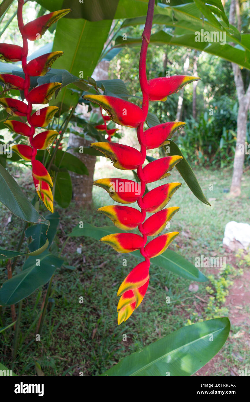 Lobster Claws (Heliconia) or Wild Plantains or False-Bird-of Paradise plant - as seen in Sri Lanka - Stock Image