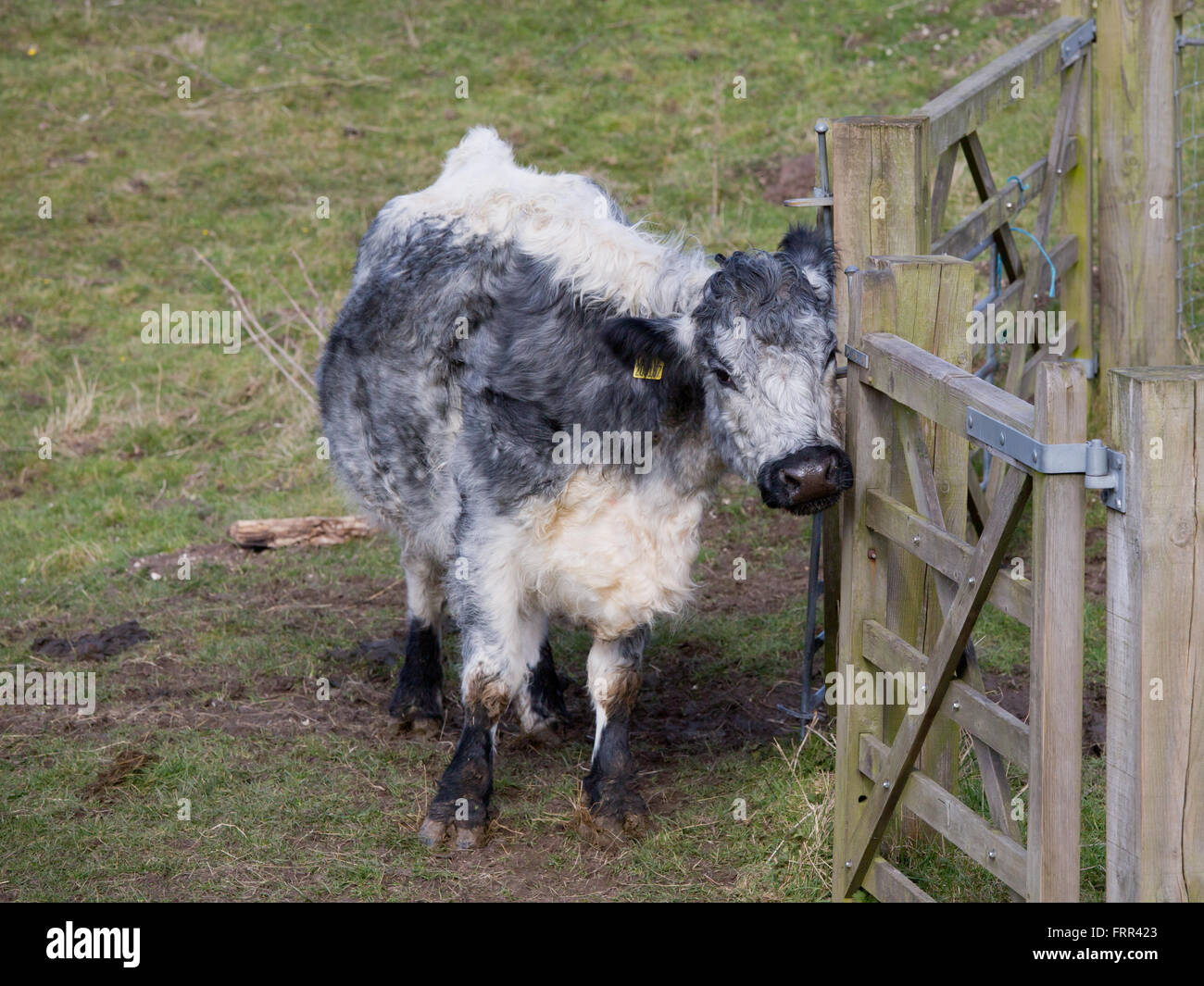 Grey And White Cow Stock Photos & Grey And White Cow Stock