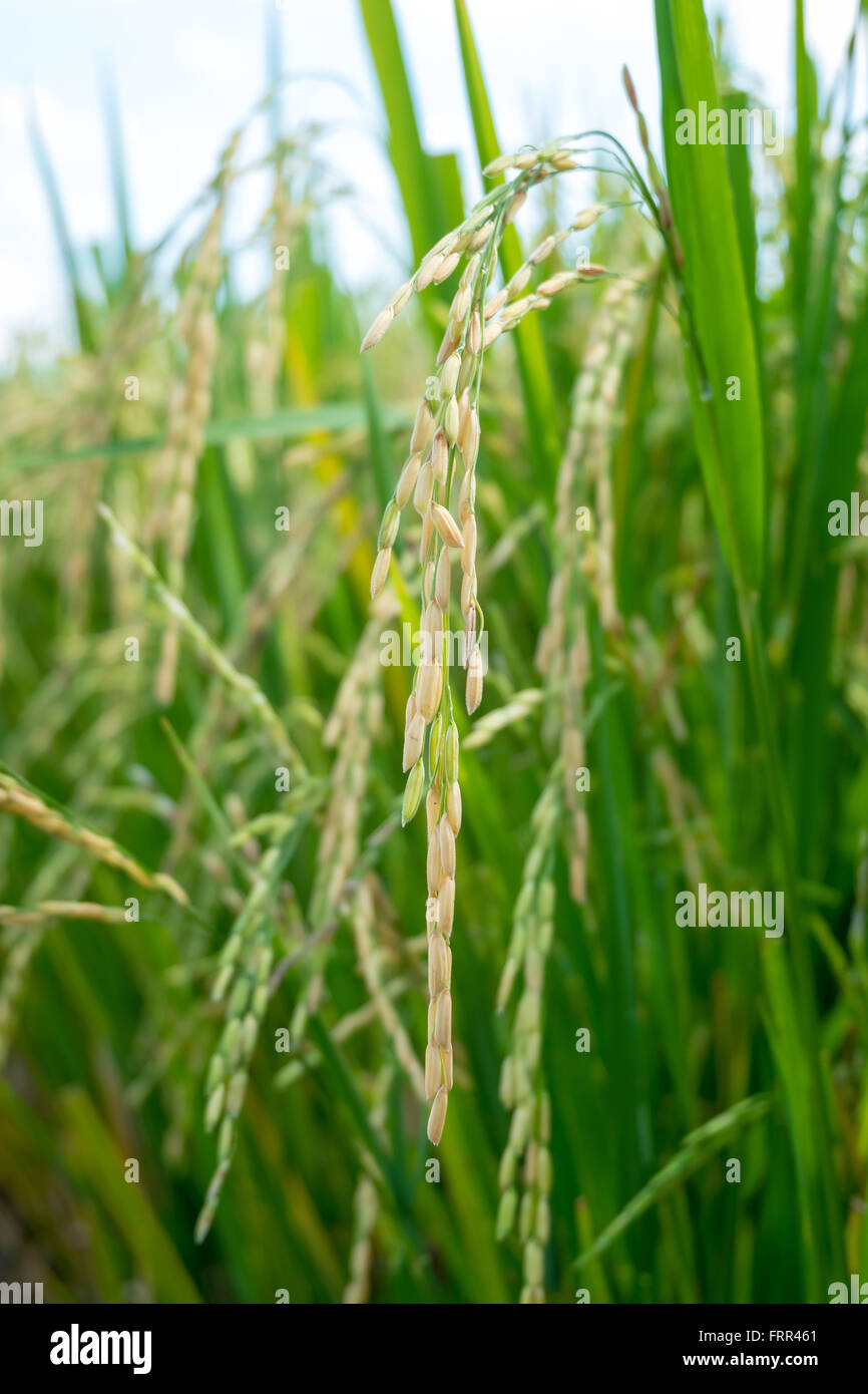 Rice seedling field in Thailand - Stock Image