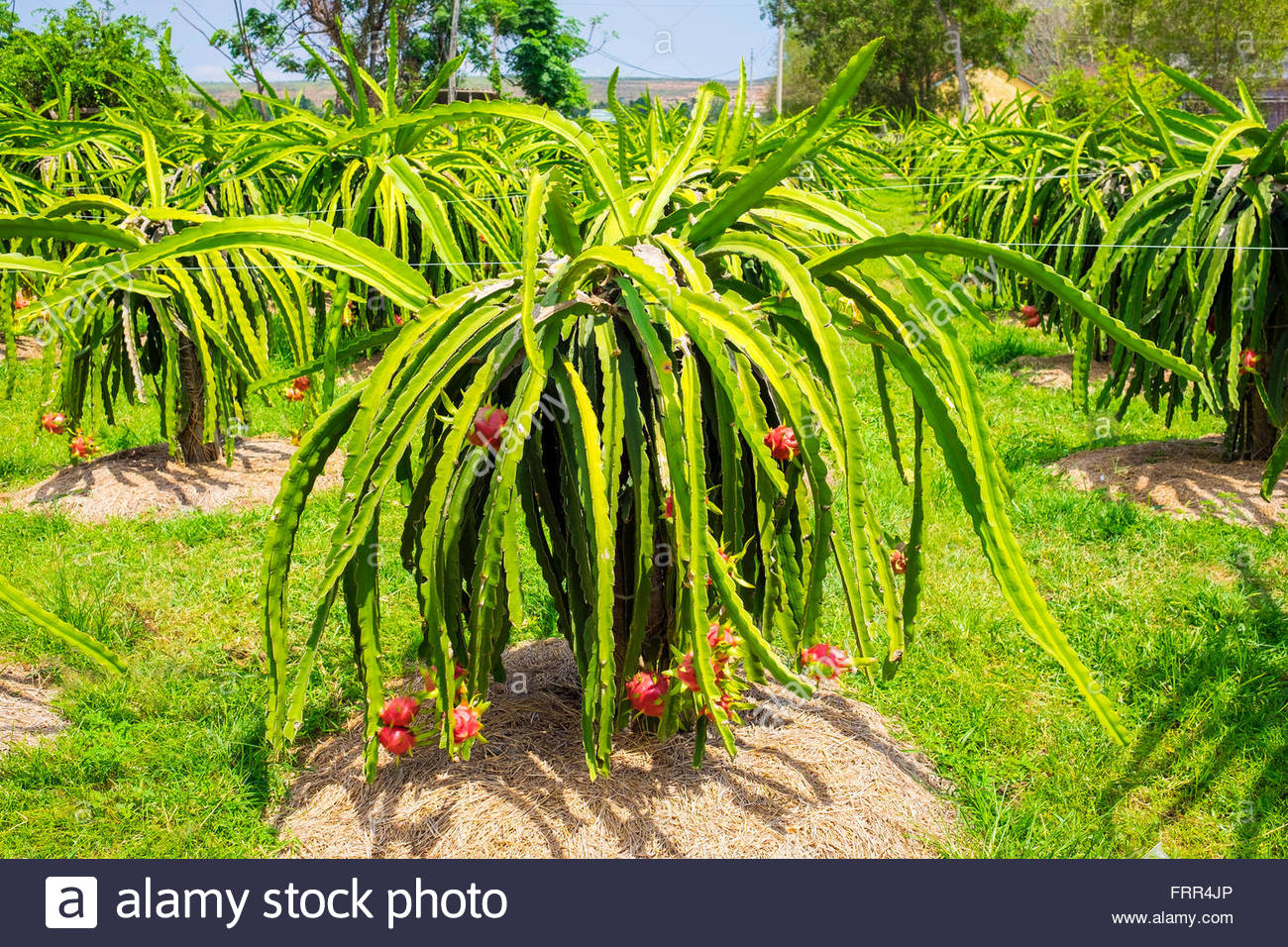 Ripe dragon fruit (pitahaya) on plants (Hylocereus undatus) at fruit farm, Ham Thuan Bac District, Binh Thuan Province, - Stock Image