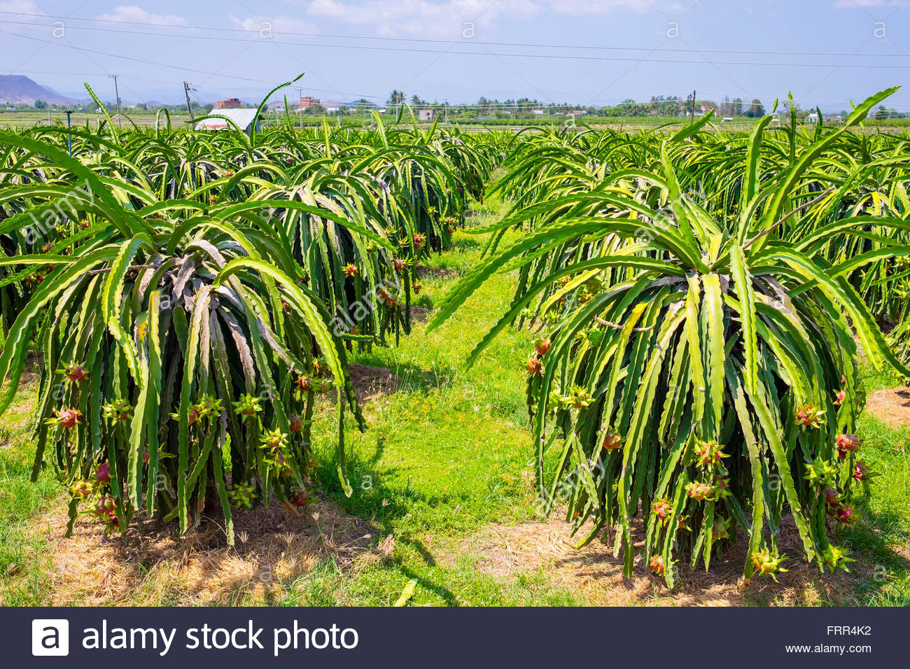 Ripe dragon fruit (pitahaya) on plants (Hylocereus undatus) at fruit farm, Ham Thuan Bac District, Binh Thuan Province, - Stock Image