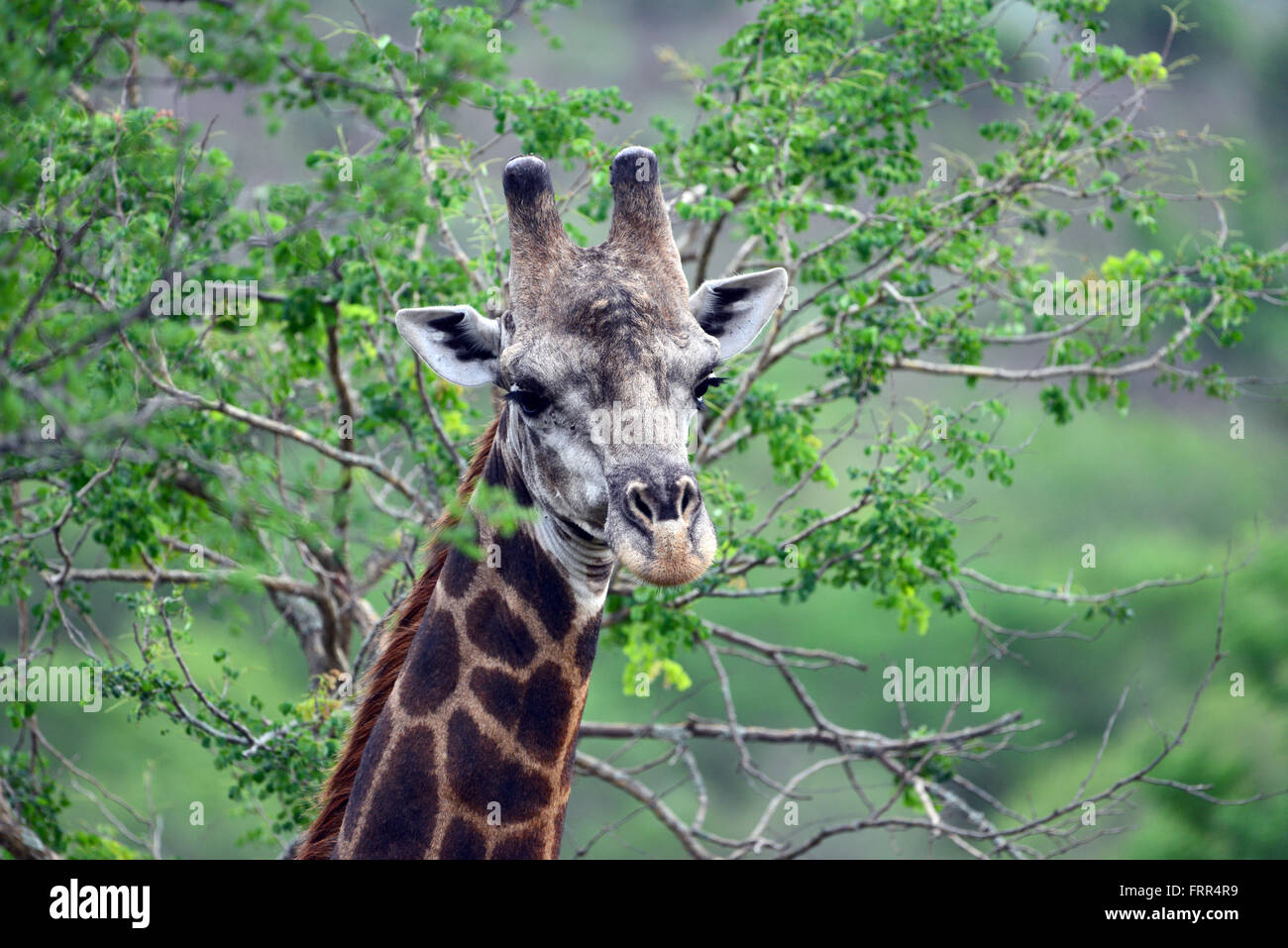 Adult Giraffe seen on a game drive at Thanda Private Game Reserve, Kwa-Zulu Natal, South Africa - Stock Image