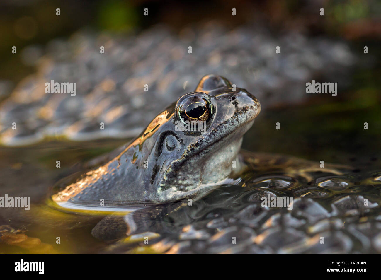 European common frog (Rana temporaria) close up  of head among frogspawn in pond Stock Photo