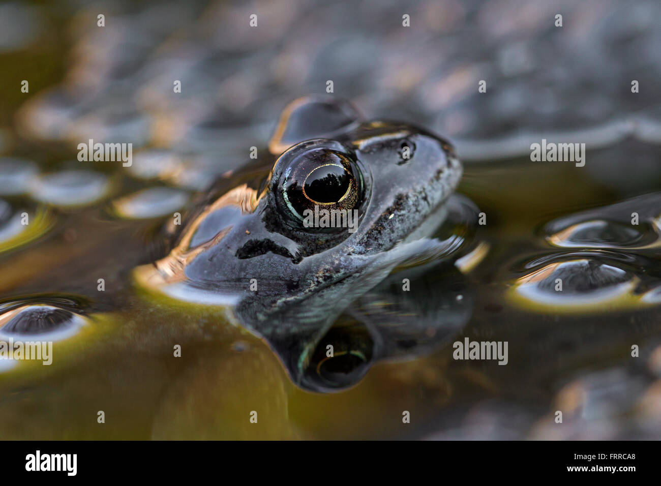 European common frog (Rana temporaria) close up  of head among frogspawn in pond - Stock Image