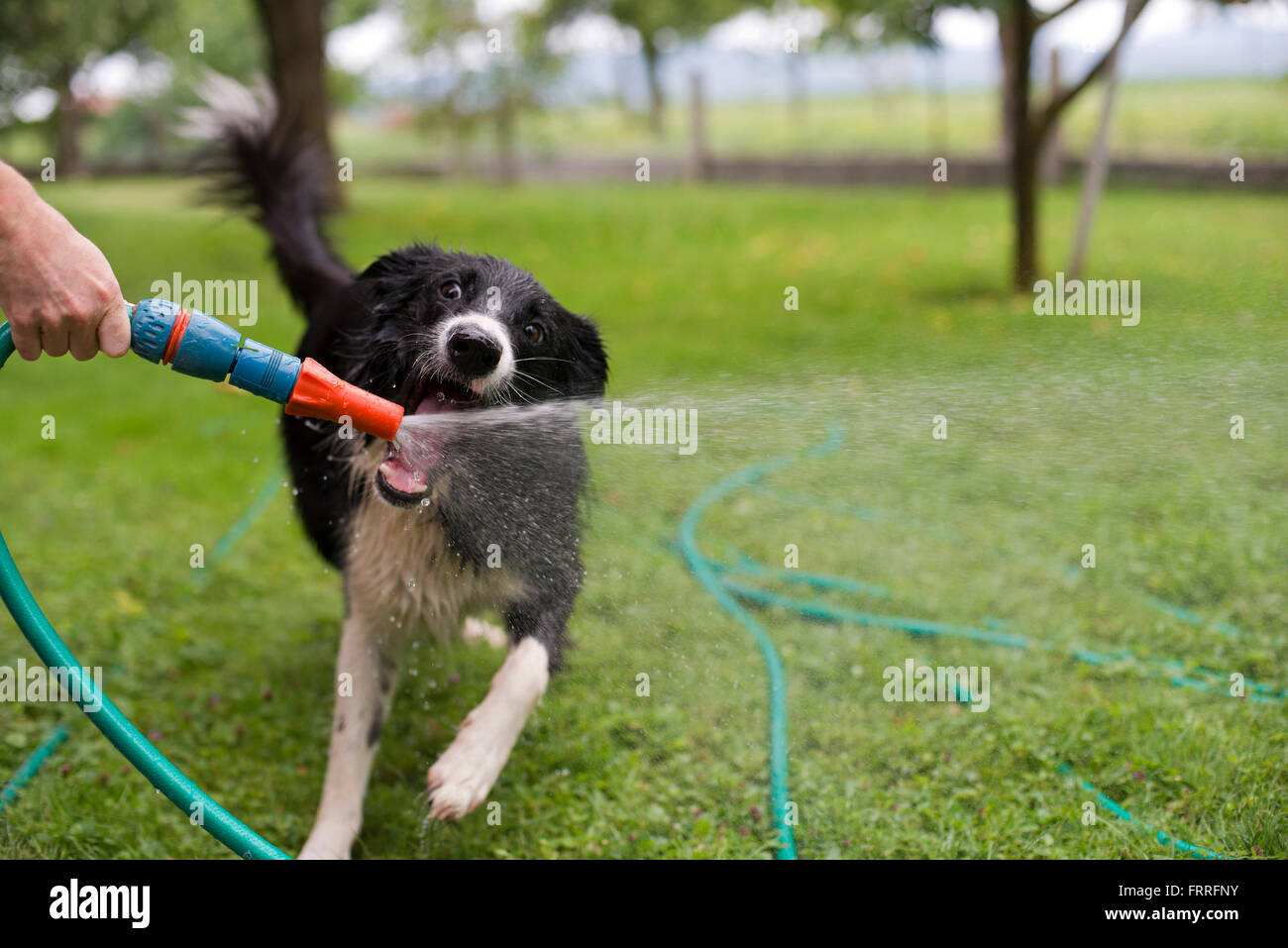 A dog playing with water from a garden hose. Stock Photo
