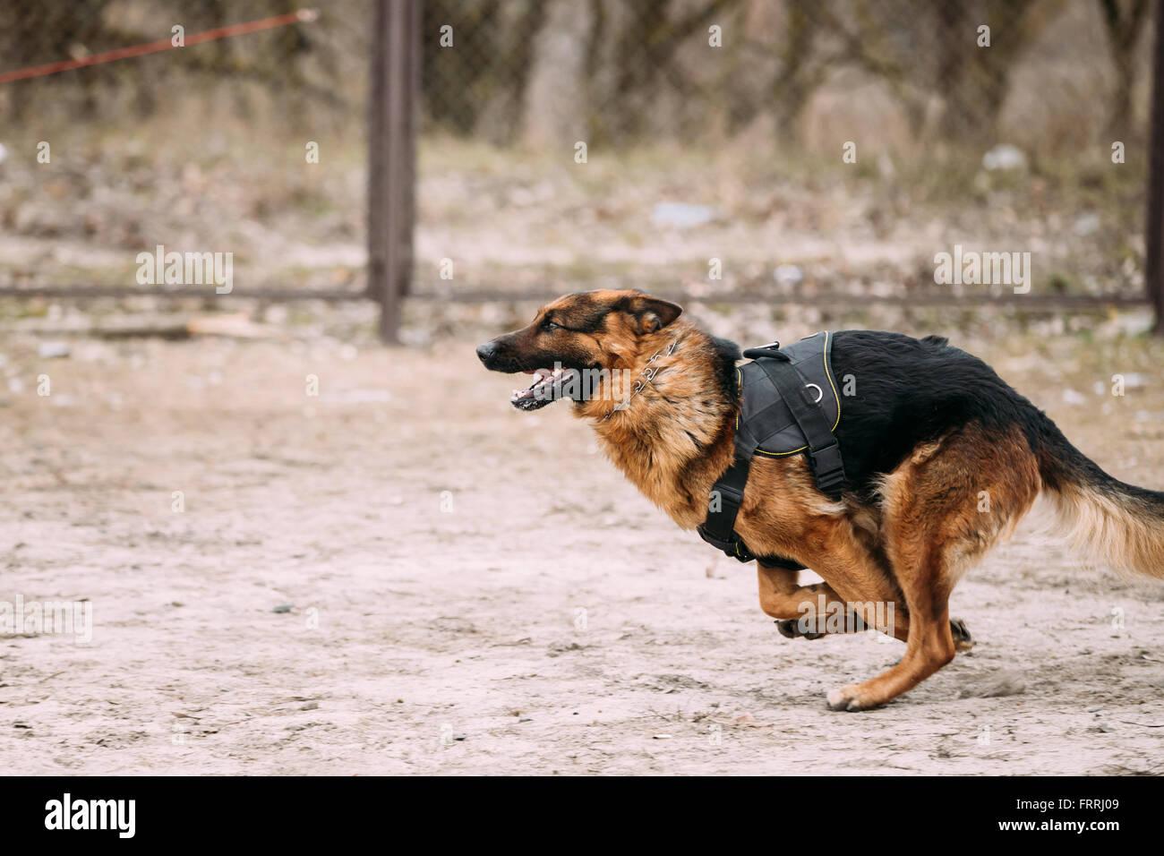 Fast In German >> Fast Running German Shepherd Dog At Training Alsatian Wolf Dog Gsd