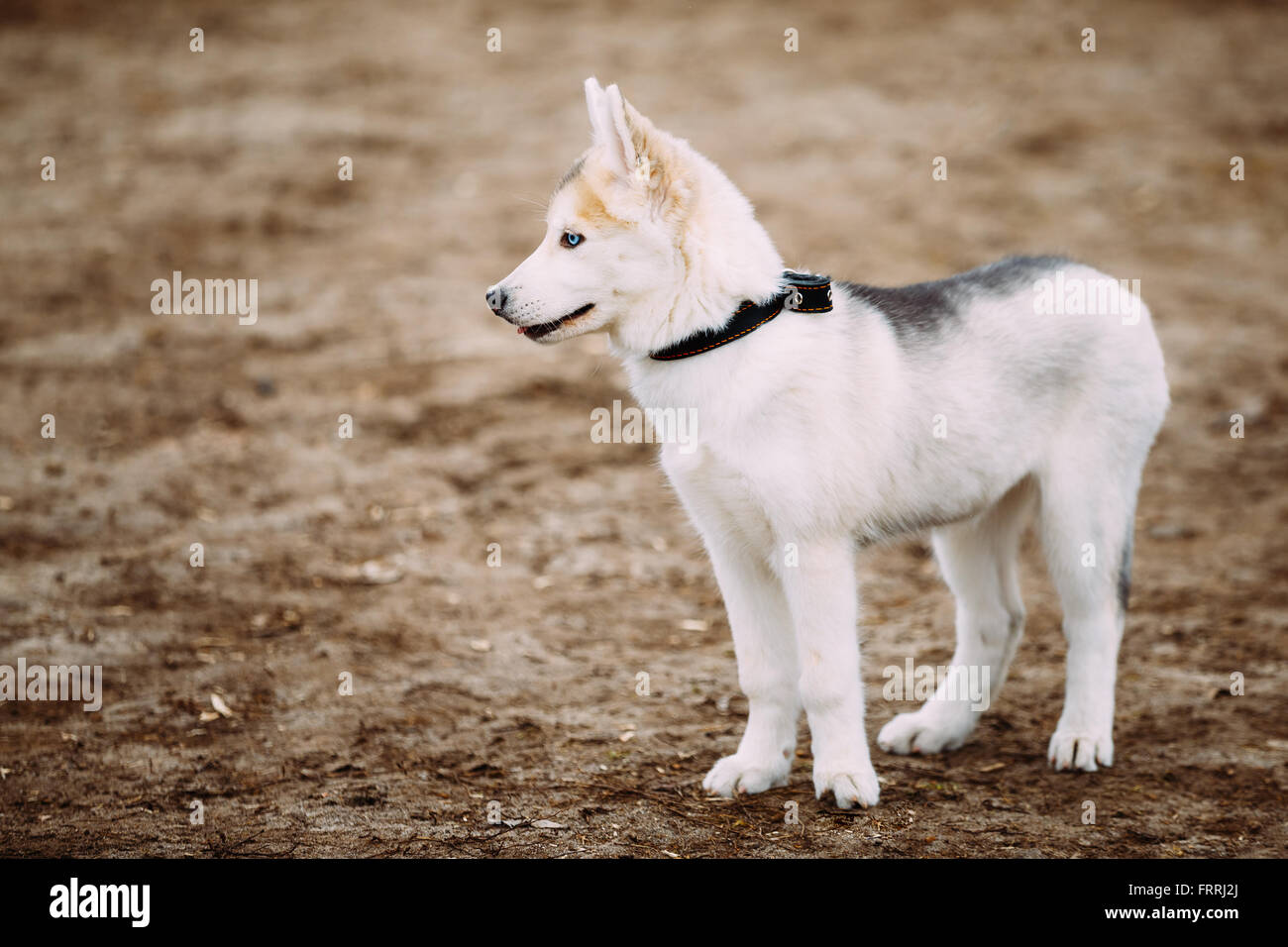 Young White Husky Puppy Dog With Blue eyes Outdoor In Autumn Park - Stock Image