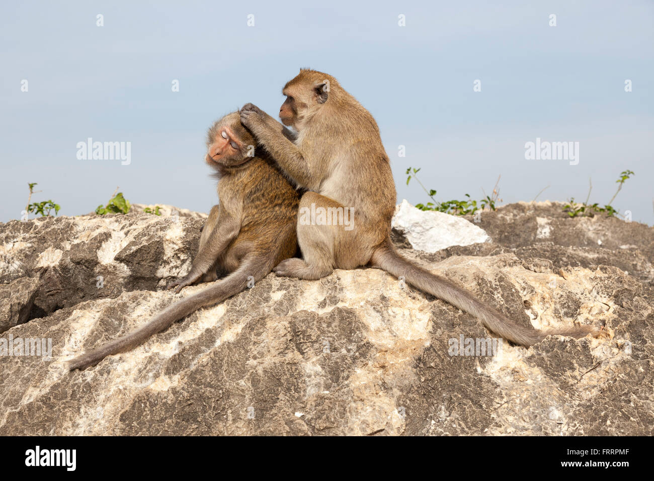 A delouse session amongst a couple of macaques in the Thammikaram temple, at Prachuap Khiri Khan (Thailand). Séance - Stock Image