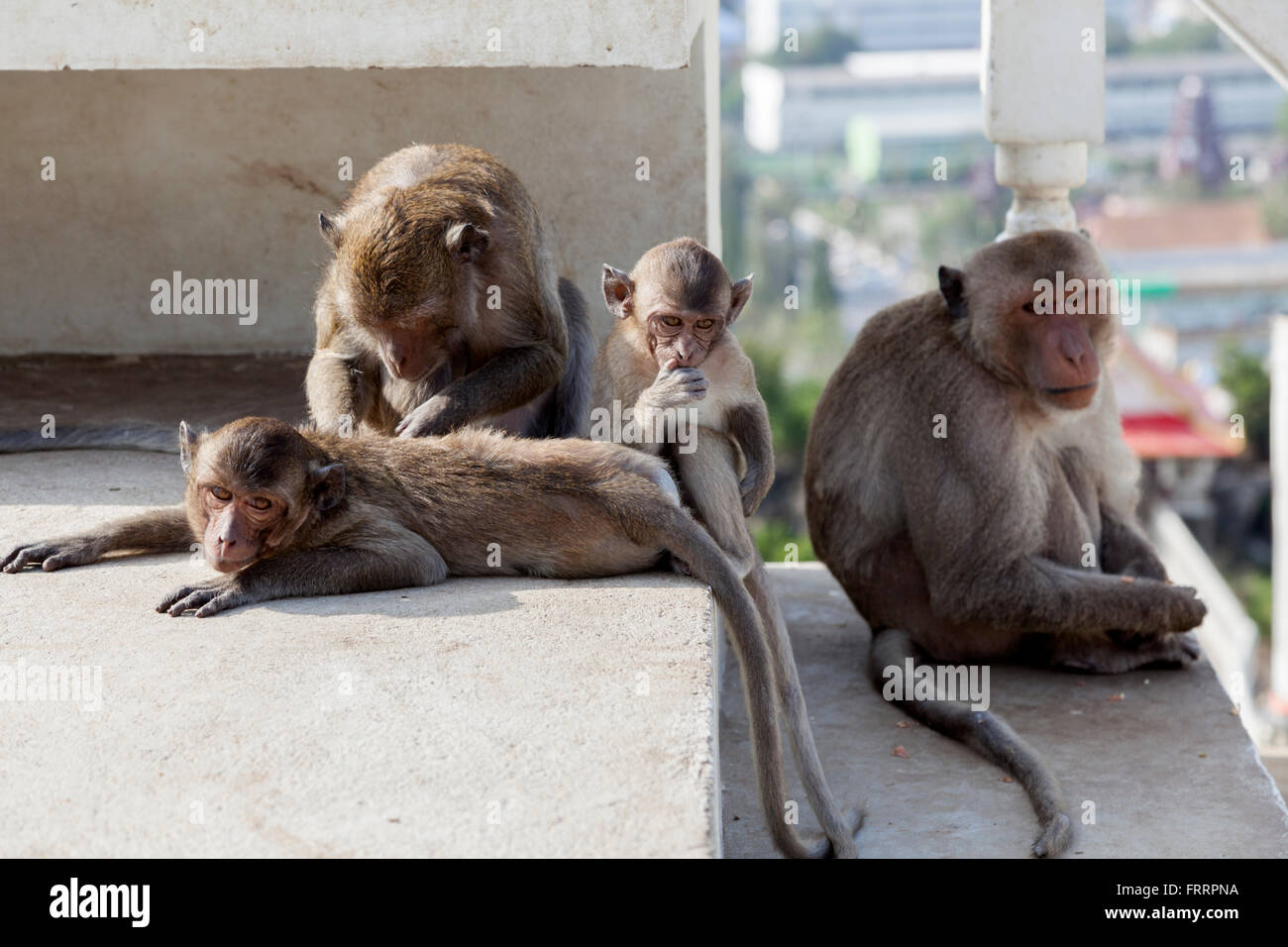 A delouse session amongst macaques in the Thammikaram temple, at Prachuap Khiri Khan (Thailand). Séance d'épouillage. - Stock Image
