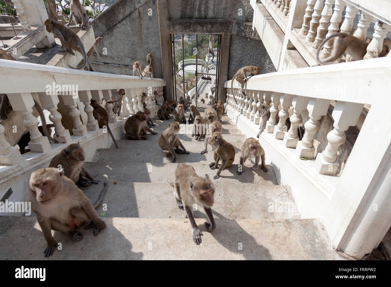 Hordes of monkeys dashing up the Thammikaram upstairs (Thailand). Macaques se ruant en haut de l'escalier du - Stock Image