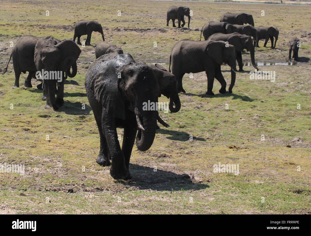 Elephant herd walking along the banks of the chobe river, Botswana Stock Photo