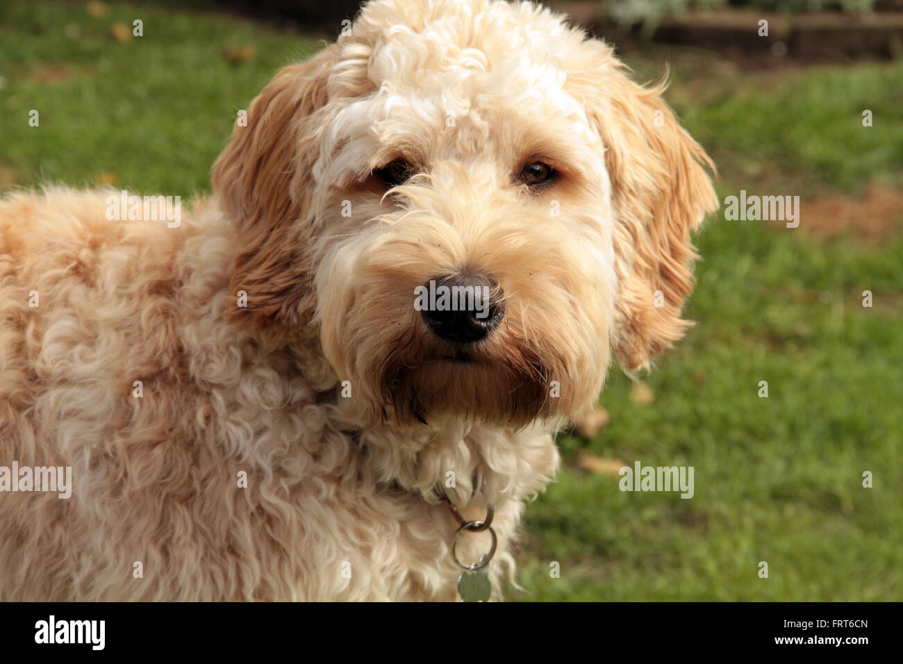 Goldendoodle standing lookin at the camera - Stock Image