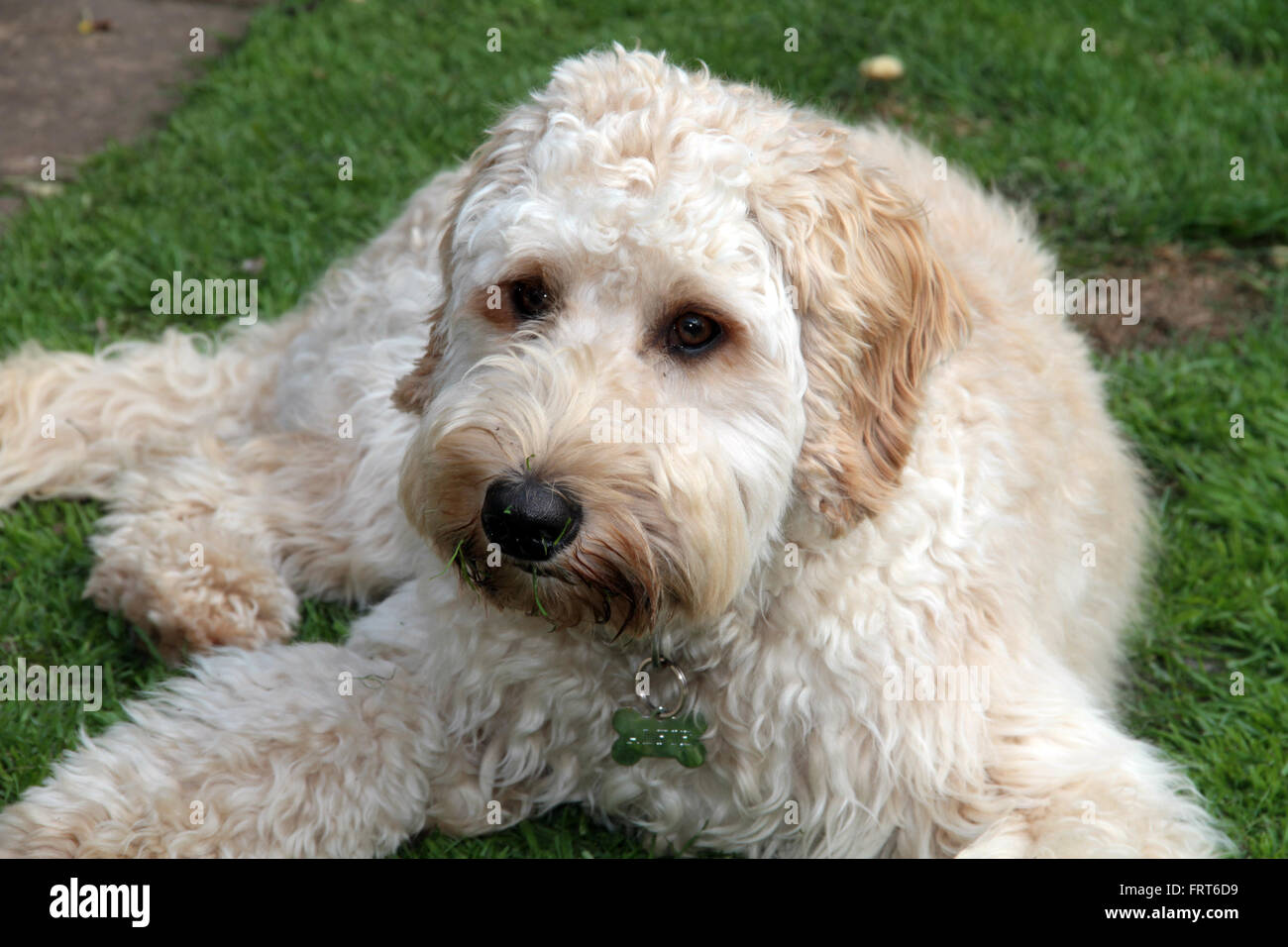 Goldendoodle lying on grass looking at the camera - Stock Image