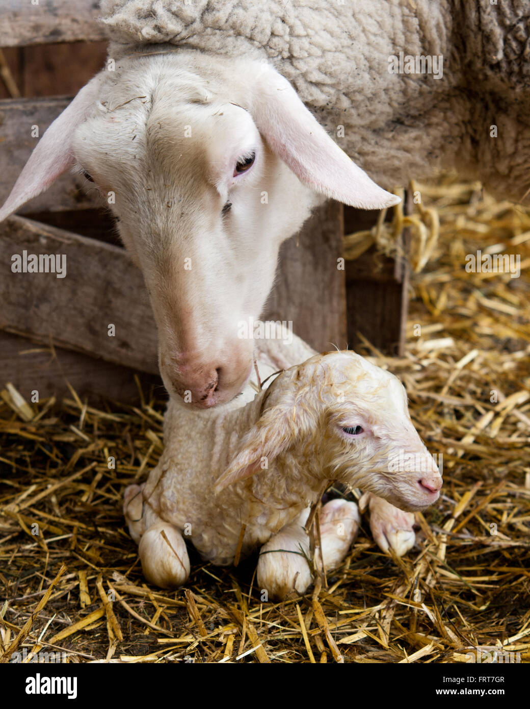 First encounter. Ewe gets the first look at her newborn lamb - Stock Image