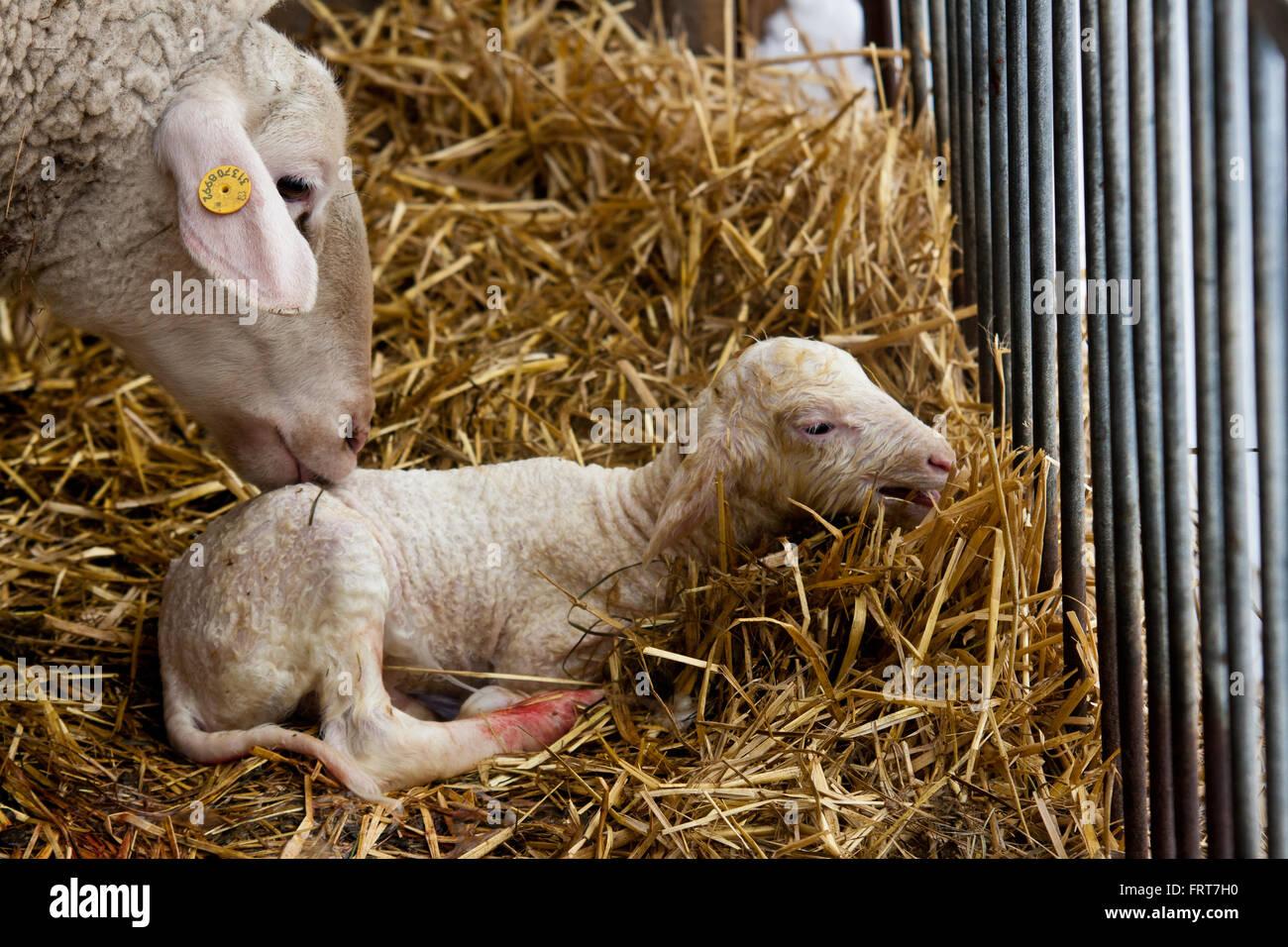 Ewe cleaning her newborn lamb. - Stock Image