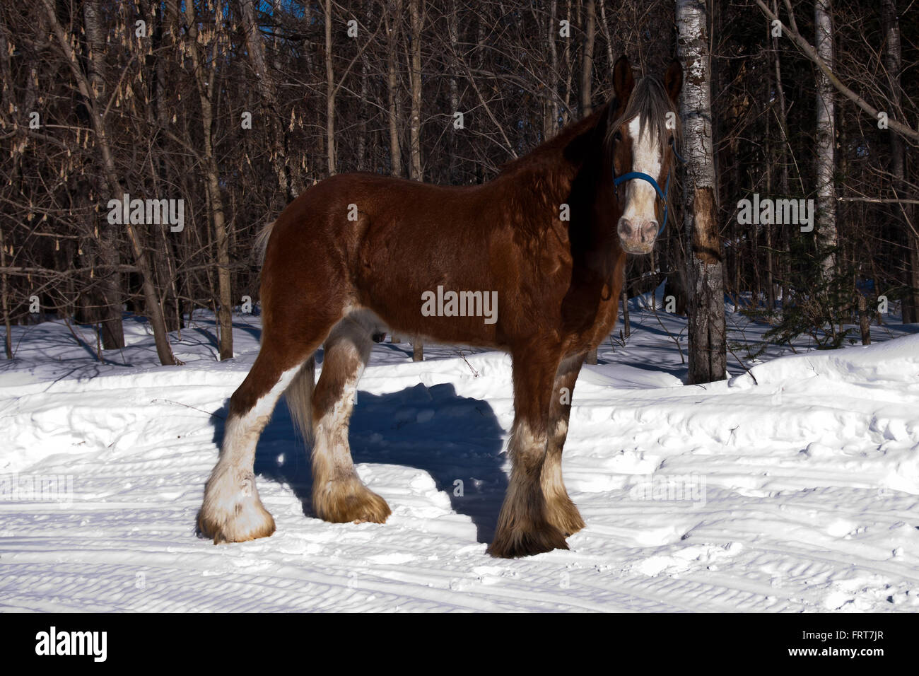 Clydesdale High Resolution Stock Photography And Images Alamy