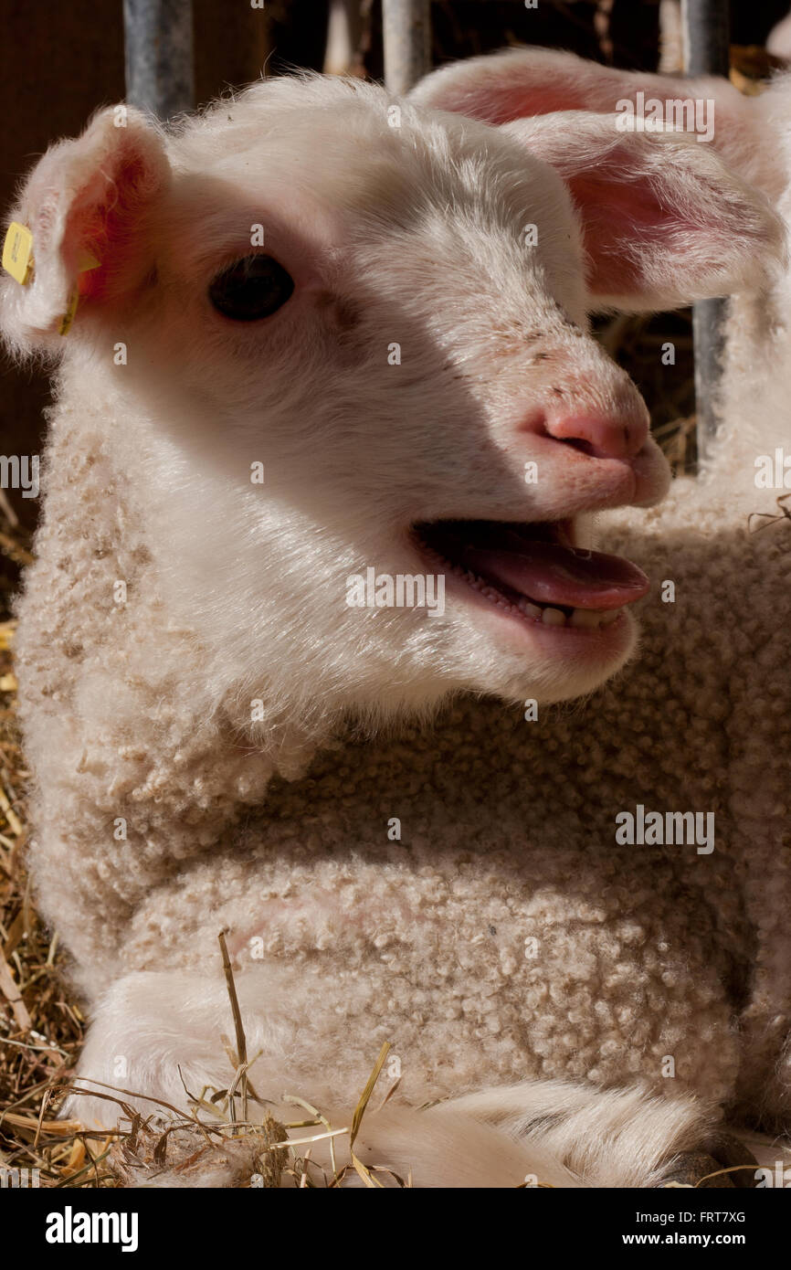 Mommy, mommy! Lamb calling for his mother. - Stock Image