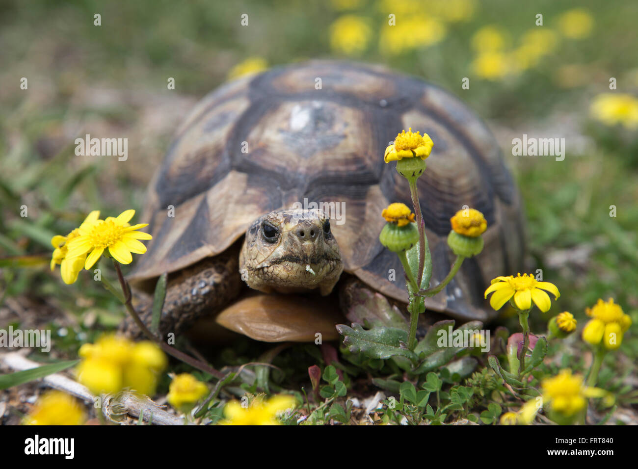 Leopard (mountain) tortoise (Geochelone pardalis), Table Mountain national park, Western Cape, South Africa - Stock Image