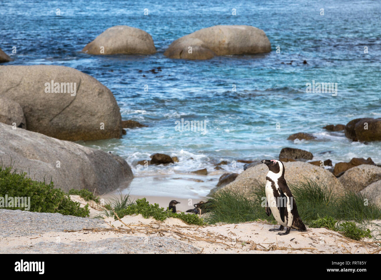 African penguin (Spheniscus demersus) from colony on Foxy Beach, Table Mountain National Park, Simon's Town, - Stock Image