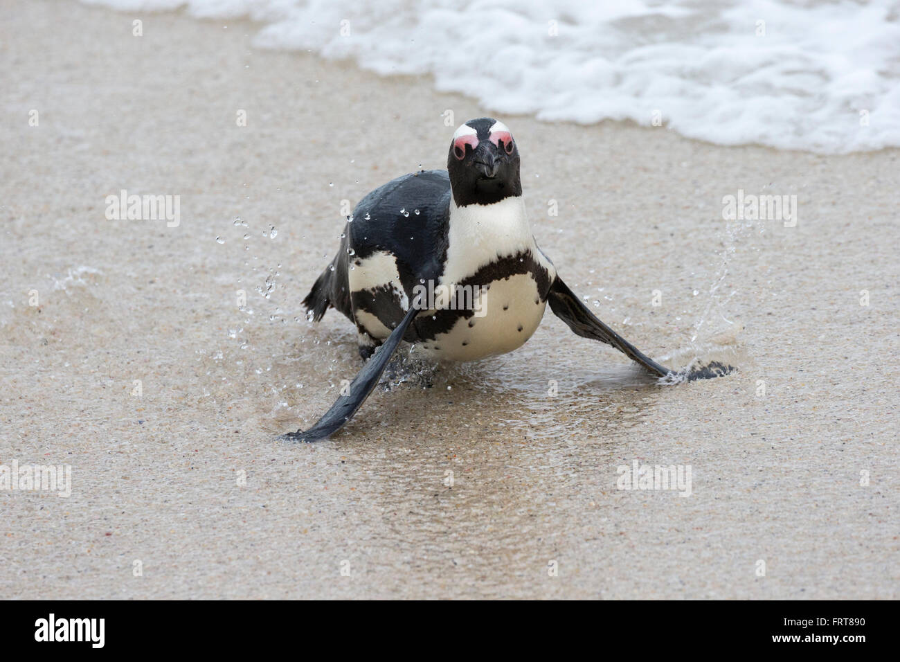 African penguin (Spheniscus demersus) Foxy Beach, Table Mountain National Park, Simon's Town, Cape Town, South - Stock Image