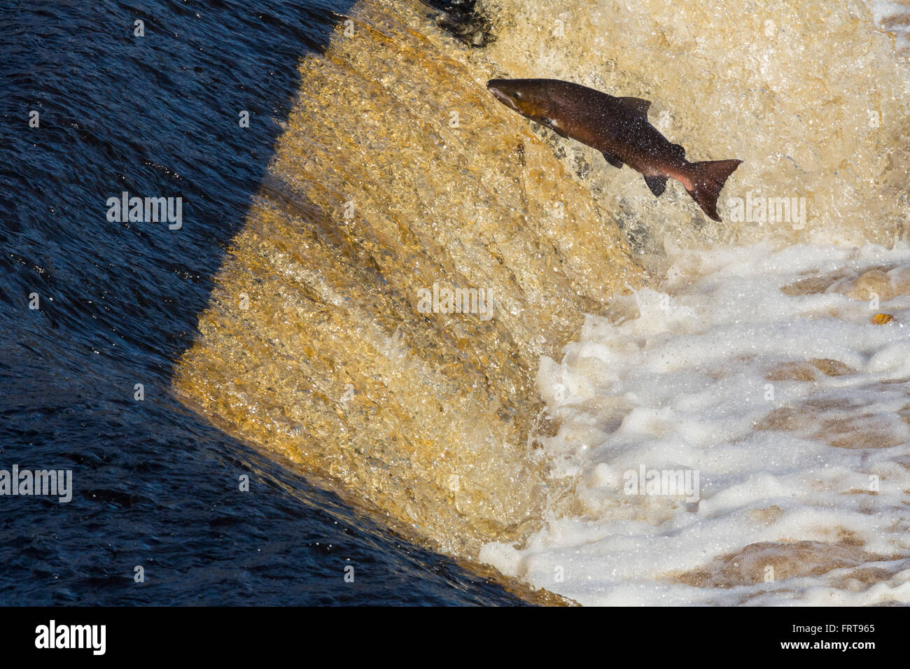 Atlantic salmon (Salmo salar) leaping weir on upstream migration, River Tyne, Hexham, Northumberland, UK - Stock Image