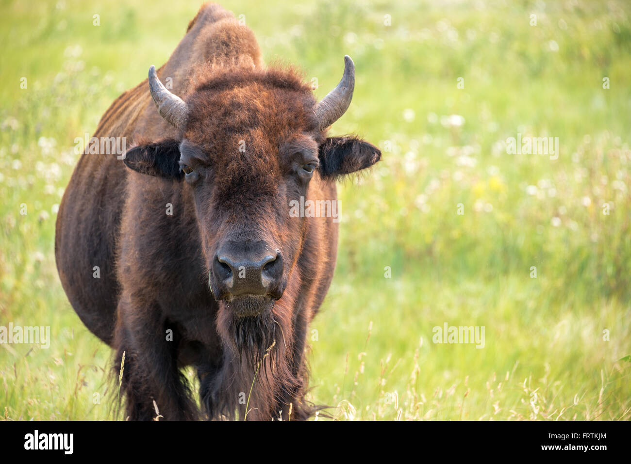Closeup of a buffalo in Custer State Park in the Black Hills of South Dakota looking at the camera - Stock Image