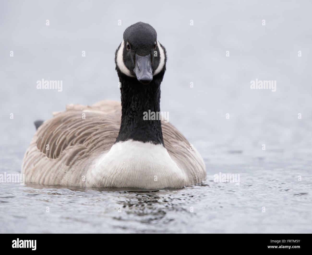 Canada goose Canadian goose Branta canadensis portrait single winter in water  in Cornwall, UK - Stock Image