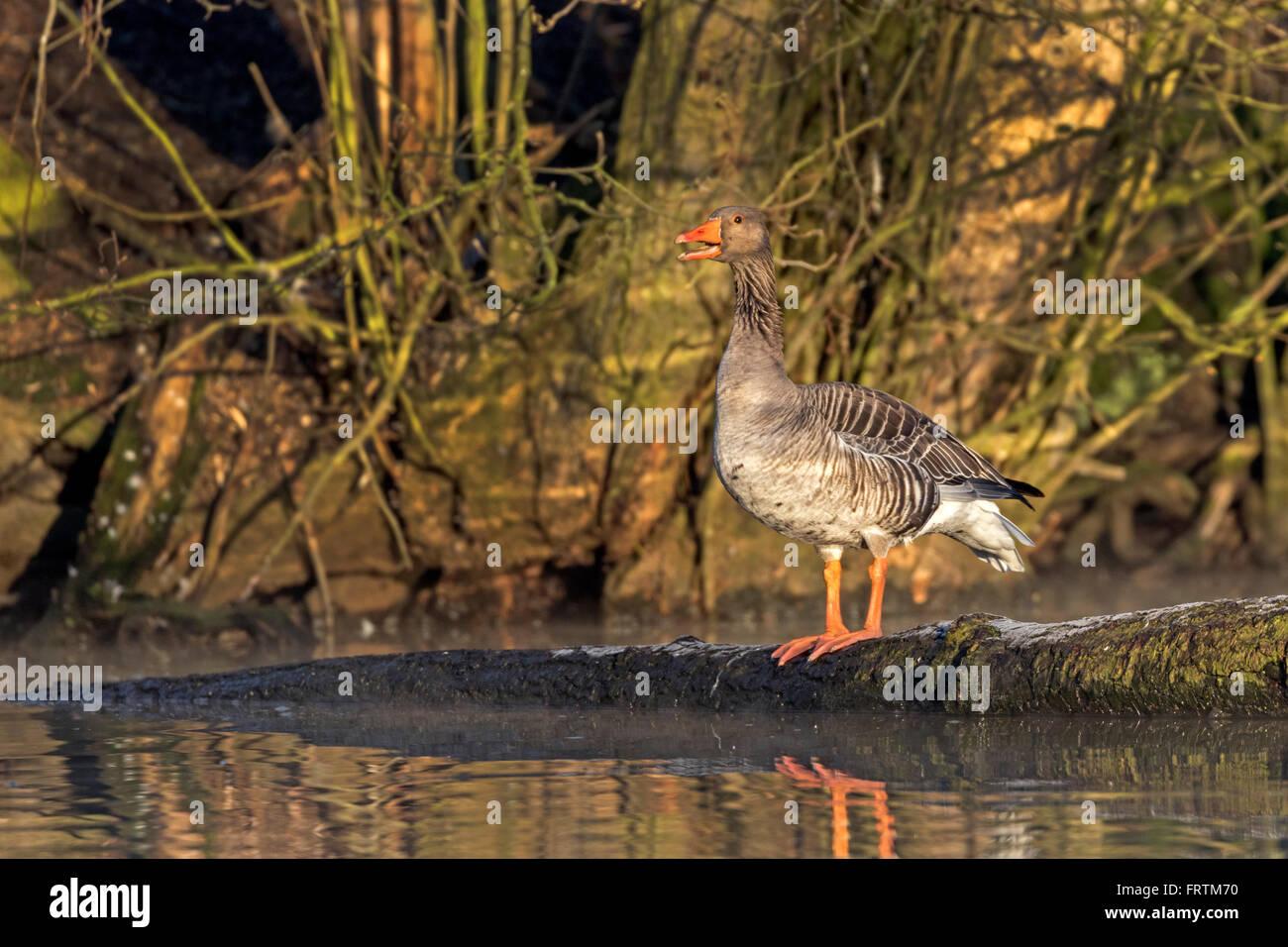 Graugans, (Anser anser), Hamburg, Deutschland, Europa / Gray goose, (Anser anser), Hamburg, Germany, Europe Stock Photo