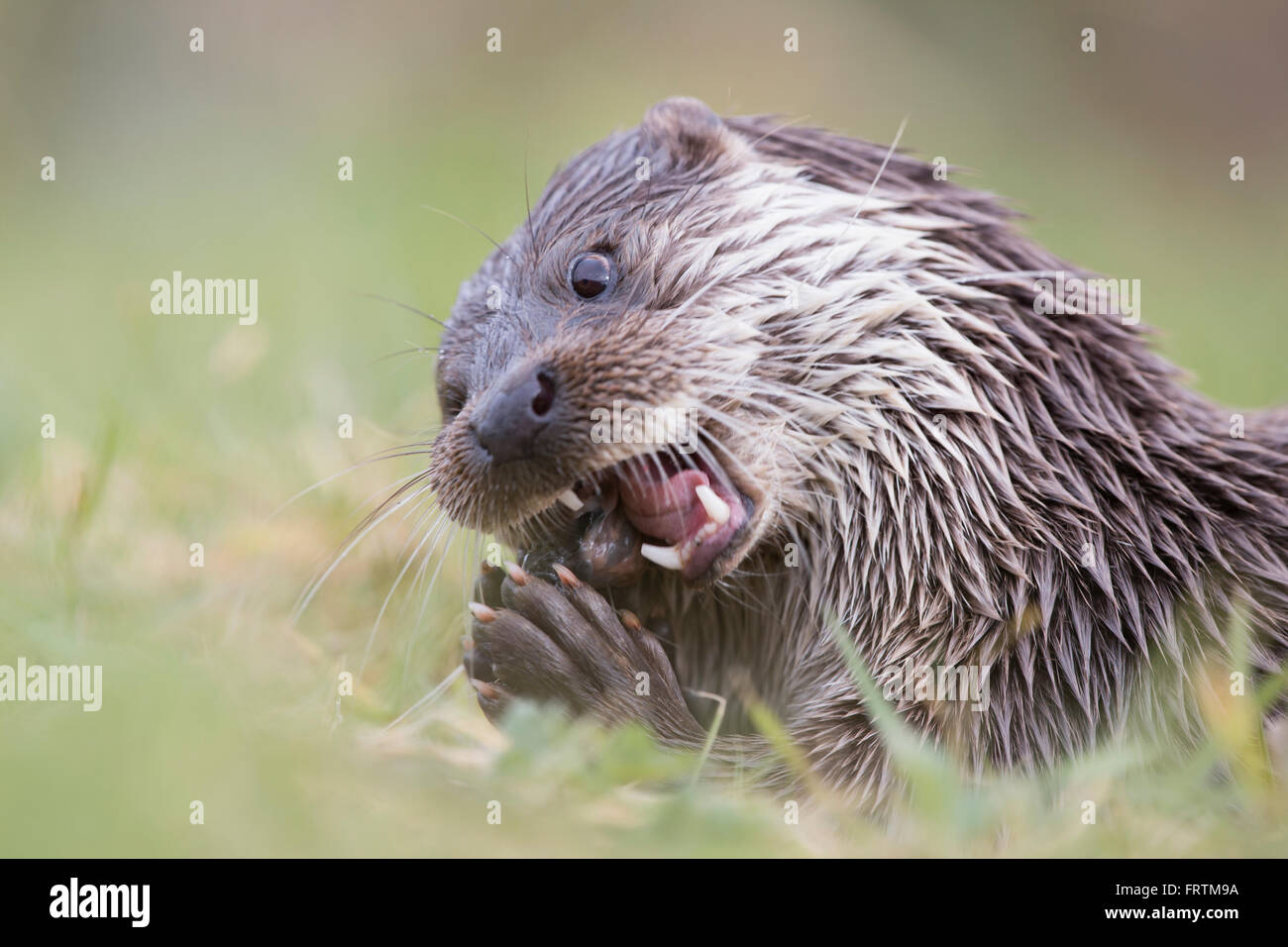 Otter Lutra lutra eating fish in Cornwall, UK Stock Photo