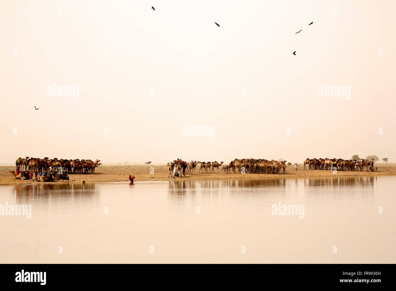 Chad, Nomads with their herds of camels on lake Gara - Stock Image
